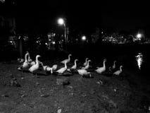 Cisnes del lado del lago Fotos de archivo