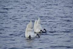 Cisnes del salto Imágenes de archivo libres de regalías
