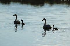 Cisnes del trompetista Imágenes de archivo libres de regalías