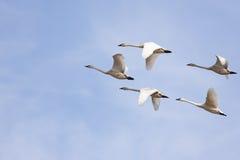 Cisnes del trompetista Fotografía de archivo