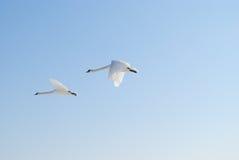 Cisnes del vuelo fotos de archivo
