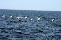 Cisnes del vuelo Imagen de archivo libre de regalías