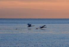 cisnes del vuelo durante salida del sol de oro sobre el mar Báltico en Gdynia, Polonia Imágenes de archivo libres de regalías