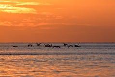 cisnes del vuelo durante salida del sol de oro sobre el mar Báltico en Gdynia, Polonia Fotos de archivo libres de regalías