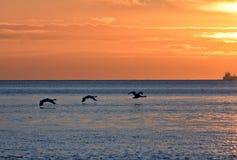 cisnes del vuelo durante salida del sol de oro sobre el mar Báltico en Gdynia, Polonia Fotografía de archivo libre de regalías