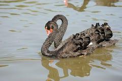 Cisnes do amor Imagem de Stock Royalty Free