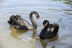 Cisnes do amor Foto de Stock Royalty Free