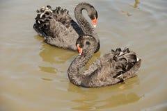Cisnes do amor Fotografia de Stock