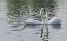 Cisnes do amor Fotos de Stock Royalty Free