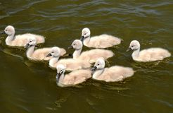 Cisnes do bebê fotos de stock royalty free