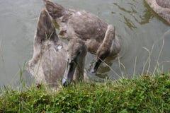 Cisnes do bebê fotos de stock
