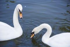 Cisnes do branco da cinta Imagens de Stock Royalty Free