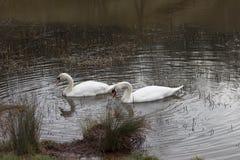 Cisnes do Cygnus Imagens de Stock