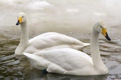 Cisnes do inverno fotografia de stock