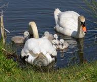 Cisnes do pai e cisnes novos velhos de um dia imagem de stock