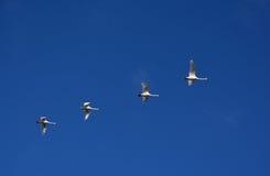 Cisnes do voo Foto de Stock Royalty Free