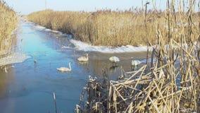 Cisnes do Wintering na lagoa filme