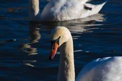 Cisnes durante la hora de oro imagenes de archivo
