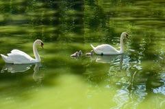 Cisnes e bebês dos pais foto de stock