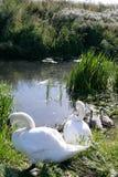 Cisnes e cisnes novos em seu local de assentamento imagens de stock royalty free