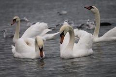 Cisnes e gaivotas perto da balsa, Chornomorsk, Ucrânia fotografia de stock