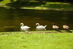 Cisnes e gansos foto de stock