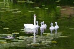 Cisnes e cisnes novos foto de stock