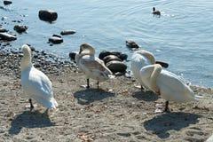 Cisnes e patos no lago Maggiore imagem de stock
