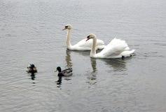 Cisnes e patos selvagens Imagens de Stock