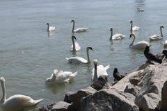 Cisnes e pombos Foto de Stock