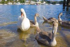 Cisnes e sinetes no rio Tamar Saltash Cornwall England Reino Unido Imagens de Stock