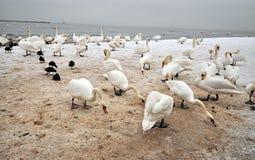 Cisnes eatting la cosecha Fotografía de archivo libre de regalías