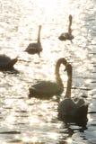 Cisnes em Danube River na manhã Imagens de Stock