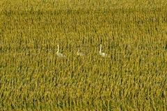 Cisnes em estoques do milho Imagens de Stock