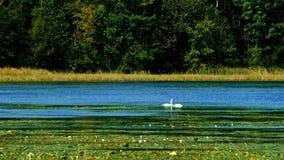 Cisnes em pantanais do lago da floresta que nadam entre almofadas de lírio no dia ensolarado video estoque