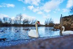 Cisnes em ross no wye Fotografia de Stock