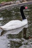 Cisnes em um jardim zoológico do russo Fotos de Stock Royalty Free