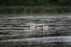 Cisnes em um lago com seus bebês Foto de Stock