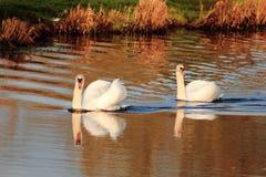 Cisnes em um rio Fotografia de Stock Royalty Free