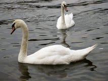 Cisnes em um rio Fotos de Stock Royalty Free