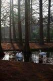 Cisnes em uma lagoa Imagem de Stock