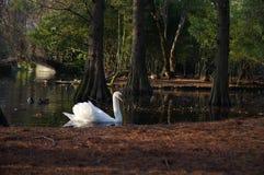Cisnes em uma lagoa Fotografia de Stock Royalty Free