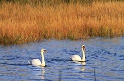 Cisnes en agua Imágenes de archivo libres de regalías