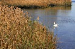 Cisnes en agua Fotografía de archivo