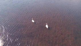 Cisnes en Alaska