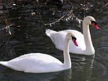 Cisnes en ambiente del invierno Fotografía de archivo libre de regalías