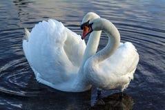 Cisnes en amor Imágenes de archivo libres de regalías