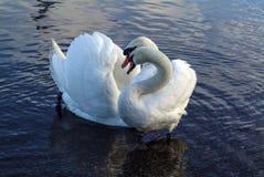 Cisnes en amor Fotos de archivo