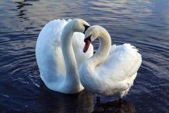 Cisnes en amor Fotografía de archivo libre de regalías