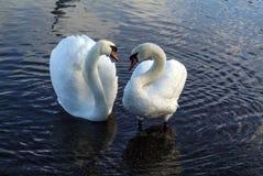 Cisnes en amor Imagen de archivo libre de regalías